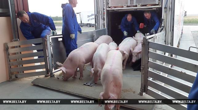 Первая очередь свиноводческого комплекса на 24 тыс. голов введена в строй в Пинском районе. Инвестором выступило ОАО «Беларуськалий»